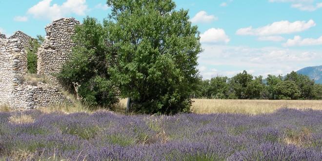 Provence lavandes amandier ruines