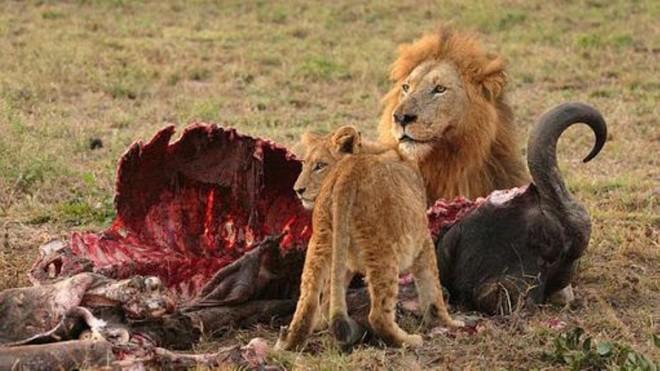 Lion dévore buffle