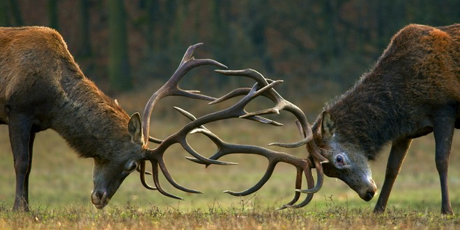 Lutte cerfs mâles