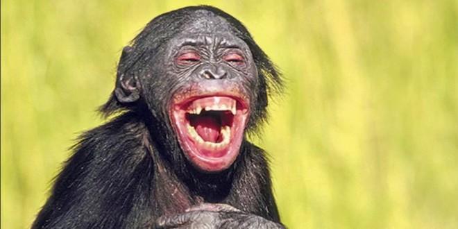 Singe rire