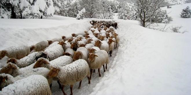 Moutons neige