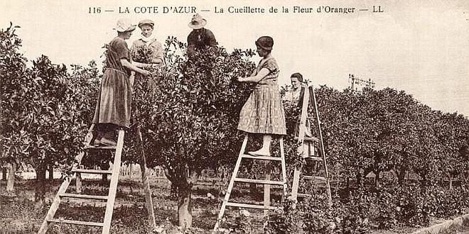 Cueillette fleur oranger carte postale retro