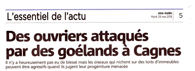 Nice-Matin 29 mai 2018 Goélands attaquent