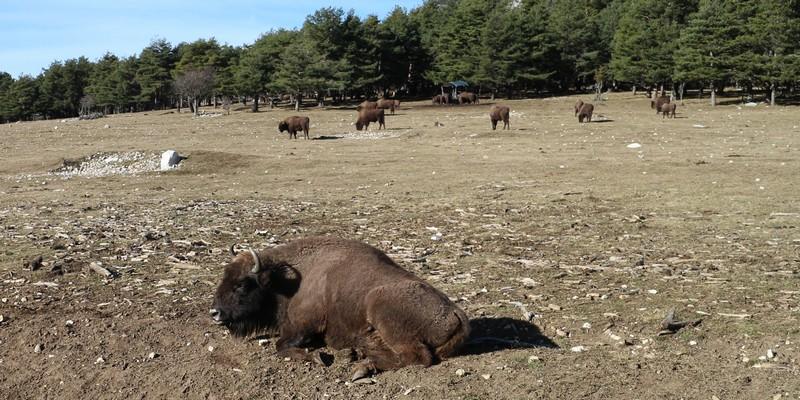 Bisons Réserve Monts d'Azur Haut Thorenc