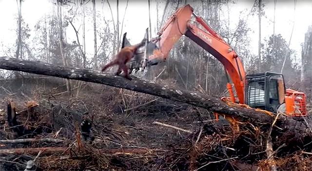 Oran Outan déforestation