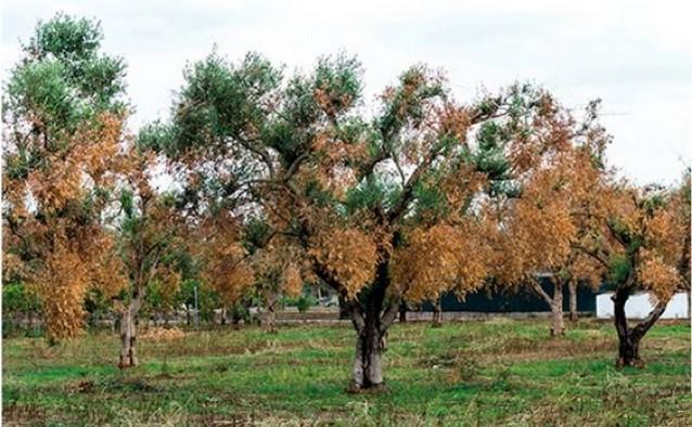 Lèpre oliviers - Xylella Fastidiosa