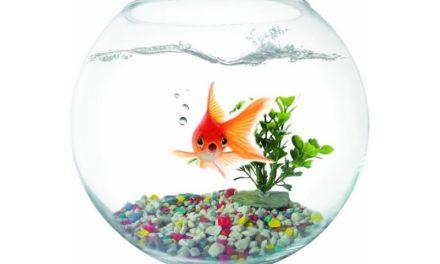 Sommes-nous en train de devenir des poissons rouges?