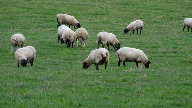 Élevage moutons