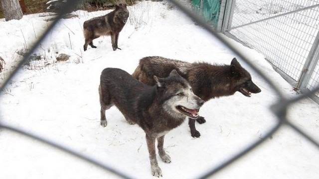 loups canadiens parc alpha