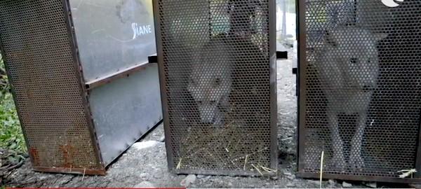 Loups blancs arctiques - Parc Alpha.2