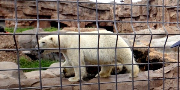 Marineland_ours_polaire
